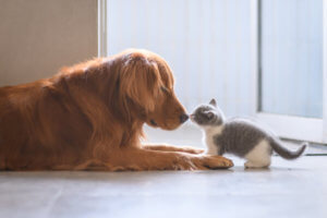 A Golden retriever and the kitten