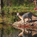 A grey fox looking over the water
